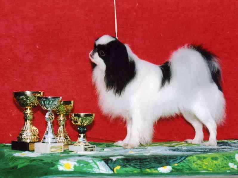 Японский хин Алиша с наградами